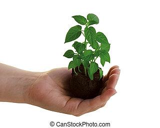 pianta, in, mano