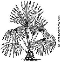 pianta, livistona, australis
