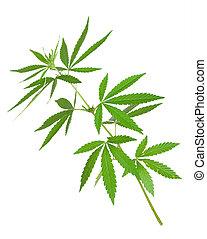 pianta marijuana