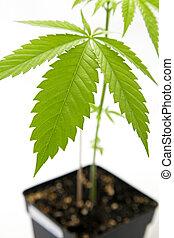 pianta, marijuana