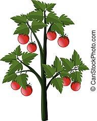 pianta, pomodori