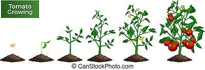 pianta pomodoro, set, crescente