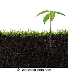 pianta, radici