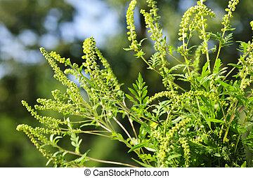 pianta, ragweed