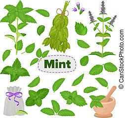 pianta, set, foglia, cibo, erba, mentolo, isolato, illustrazione, aroma, vettore, verde, menta piperita, fondo, erbaceo, fresco, bianco, menta, foglie, menta verde, ingrediente