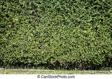 Siepe Sfondo Verde Thuja Modello Sfondo Verde Thuja Siepe