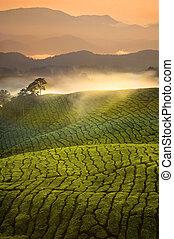piantagione, altopiani, tè, malaysia., mattina, presto, nebbia, cameron, alba