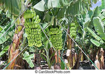 piantagione, palma, dettaglio, banana, la