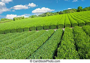 piantagione, tè