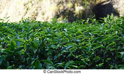 piantagione tè, in, fujian, provincia, porcellana