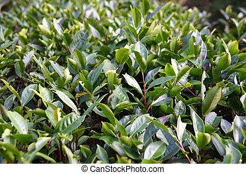 piantagione, tè, porcellana, provincia, fujian
