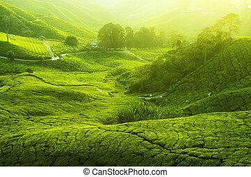 piantagioni tè