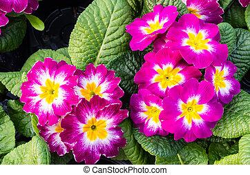 piante, fioritura, primula, magenta, due