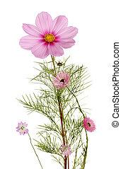 piante, perenne, erbaceo