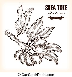 piante, schizzo, shea, albero., illustrazione medica, mano, vettore, ramo, disegnato, style.