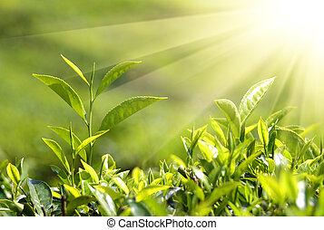 piante tè, in, raggi sole