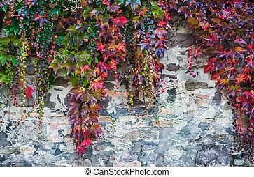 piante, vecchio, colorito, parete, pianta rampicante, sopra, rought, autunno, mattone