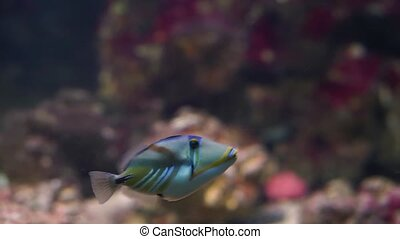 picasso triggerfish swimming under water, popular aquarium pet in aquaculture, colorful tropical fish specie