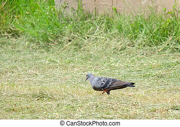 piccione, passeggiata, erba, campo, erba, colomba, alone.