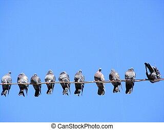 piccioni, filo, gregge