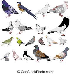piccioni, set