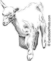piccolo, goat
