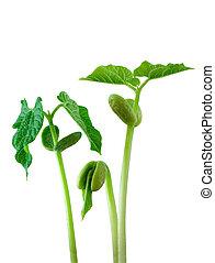 piccolo, pianta