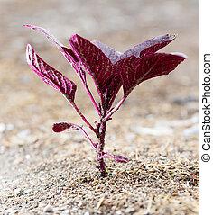 piccolo, pianta, rosso, suolo