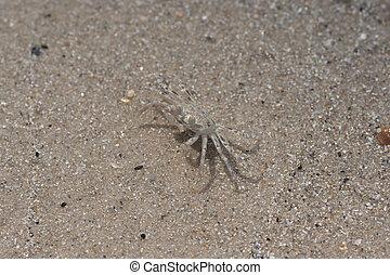 piccolo, spiaggia sabbia, granchio