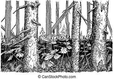picea, bosque