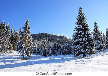 picea, bosque, en, invierno