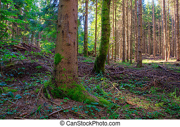 picea, Eslovenia, bosque