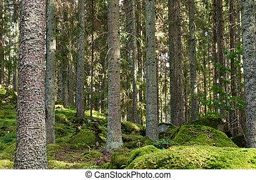 picea, musgoso, troncos, bosque
