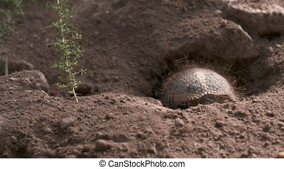 Handheld, medium close up shot of a Pichi Armadillo crawling into a hole in the ground.