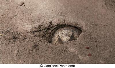 Handheld, medium close up shot of a Pichi Armadillo crawling out of dirt hole.