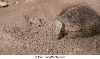 Handheld, medium close up shot of a Pichi Armadillo searching for and eating food.
