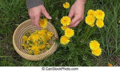 pick fresh spring dandelion flower