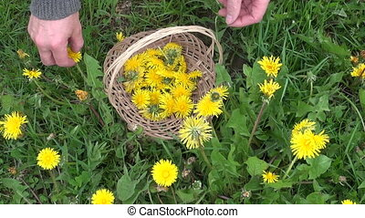 harvesting fresh spring dandelion - pick harvesting fresh...
