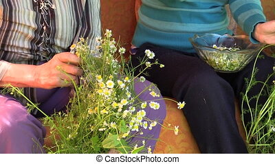 Pick herb chamomile - Grandmother and young granddaughter...