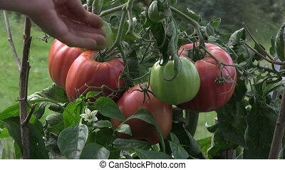 Pick tomatos - picking tomatos