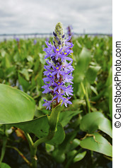 Pickerelweed (Pontederia cordata) Flowers - Pickerelweed...