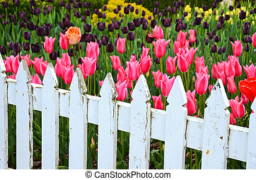 Picket fence in tukip garden - Old white picket fence in ...