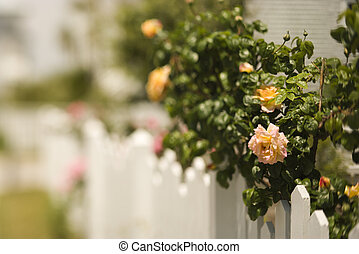Picket fence with rose bush.
