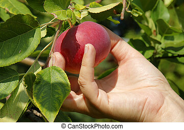 Picking a beautiful red apple from the tree
