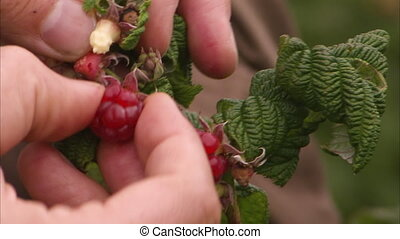 Picking a raspberry from its stem - A close up shot of a...