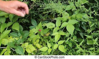 picking a raspberry - picking a wild raspberry along a rural...