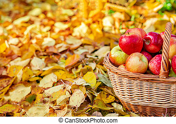 Picking apples. A full basket of red apples in the garden on a background of yellow leaves.