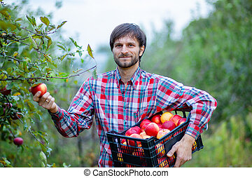 Picking apples. A man with a full basket of red apples in the garden.