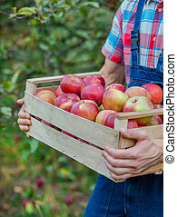 Picking apples. Closeup of a crate with apples. A man with a full basket of red apples in the garden.
