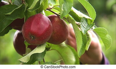 Picking apples on trees - A steady full shot of apples as a...